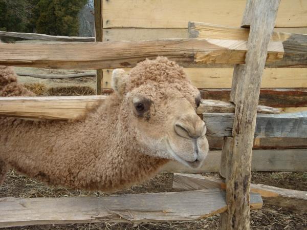 George Washington's Christmas Camel