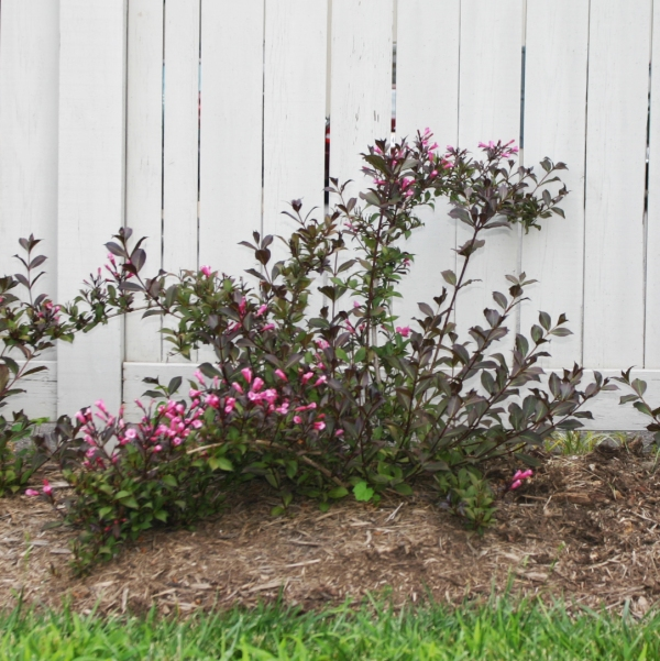 Weigela florida 'elvera midnight wine'