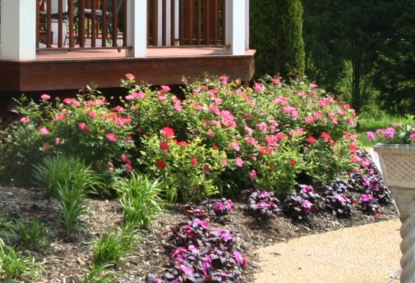 shrubby-roses